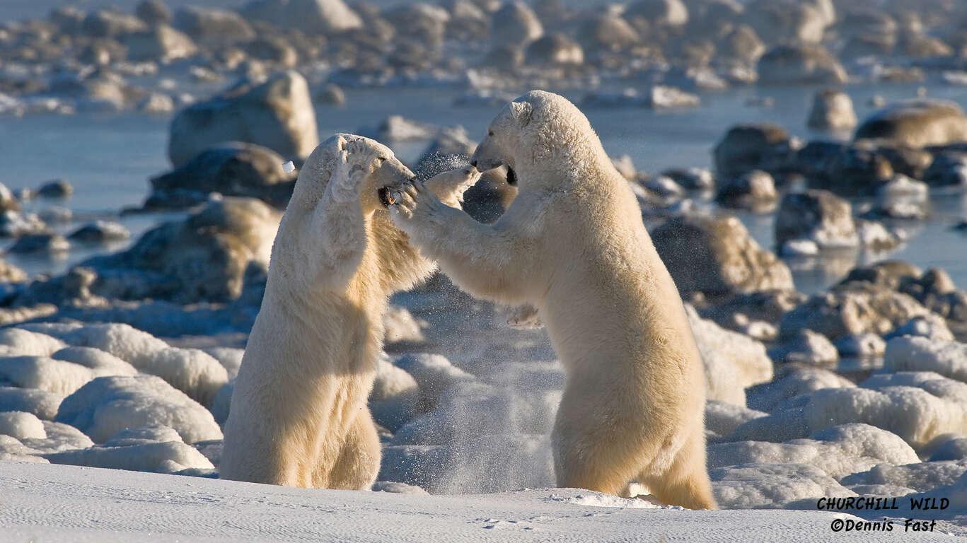 A la rencontre des Ours Blanc