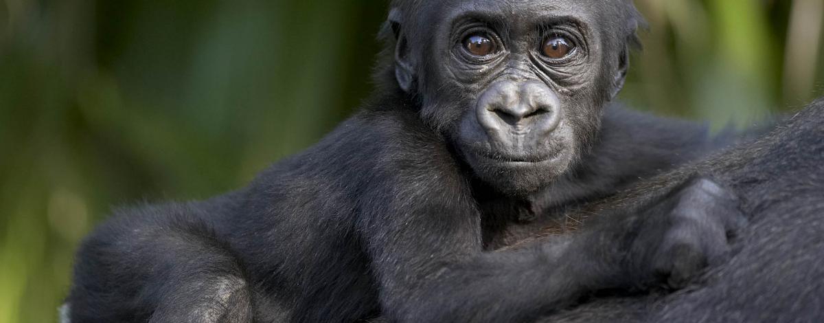 Voyage sur la piste des gorilles en Ouganda