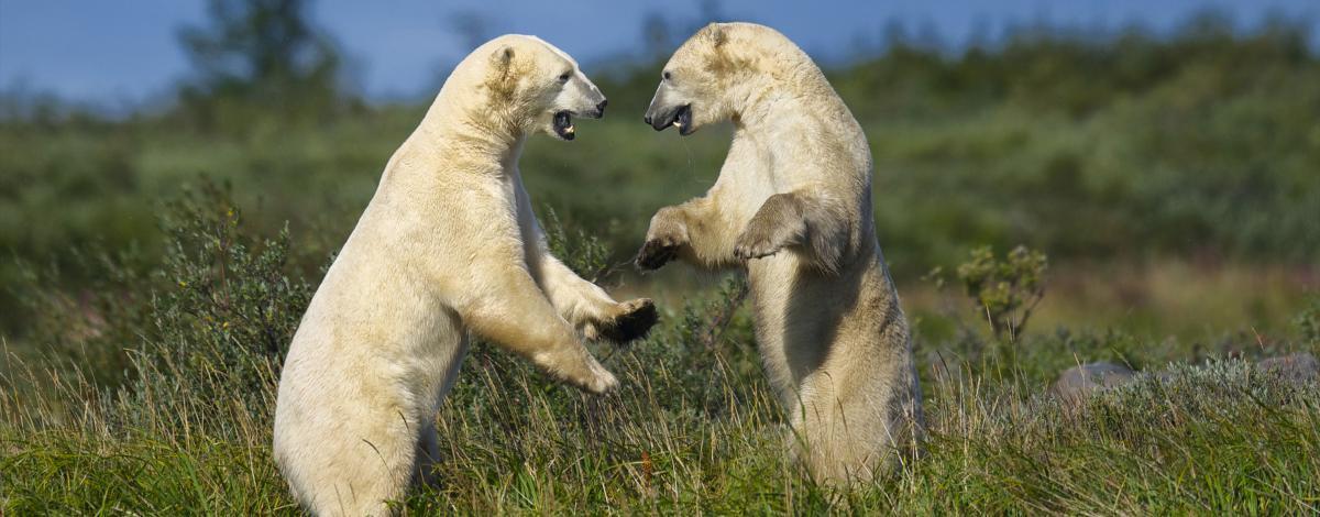 Découverte estivale des bélugas et des ours blanc à Churchill