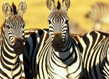 Combiné safari et plage au Kenya