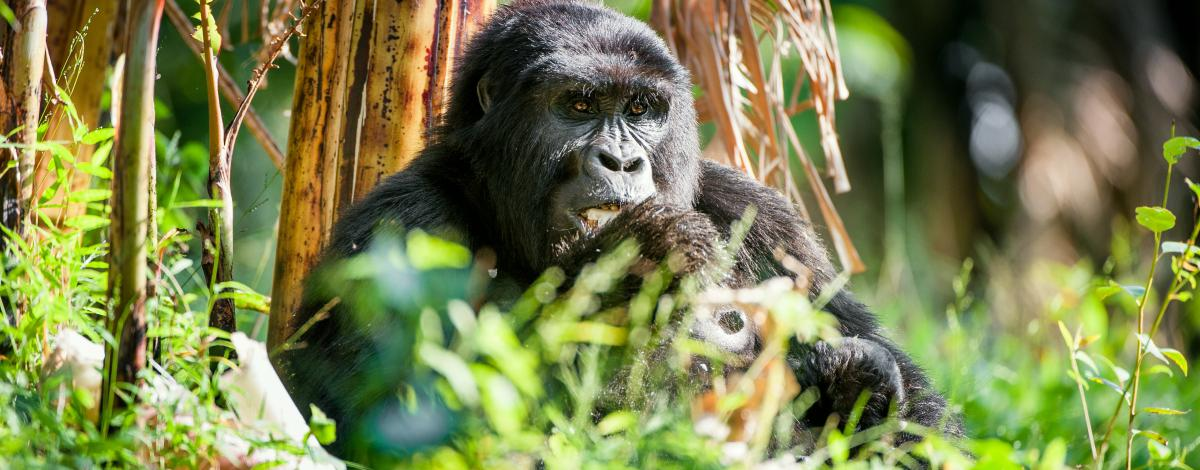 Voyage en Ouganda: A la rencontre des gorilles