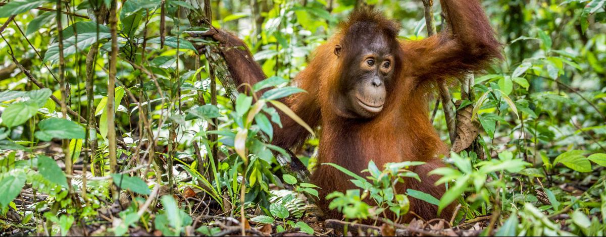 Découverte de Sumatra : des Orangs Outans aux plages