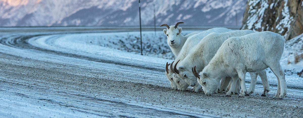 Le Grand Nord : un hiver au Yukon