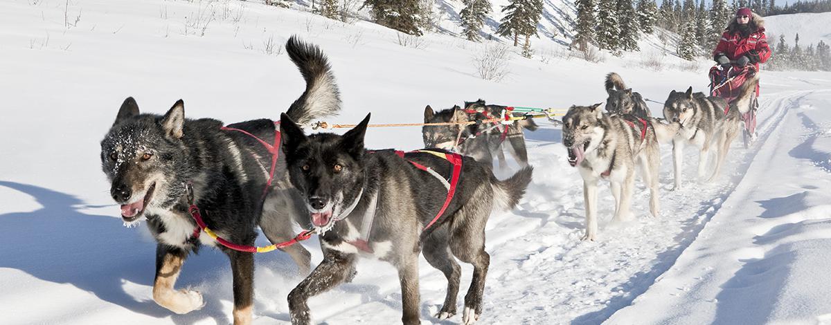Traîneau à chiens boréal au Yukon